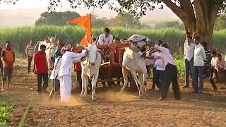 Stud bulls of Kamalapur pulls bullock cart 1667 feet in a minute