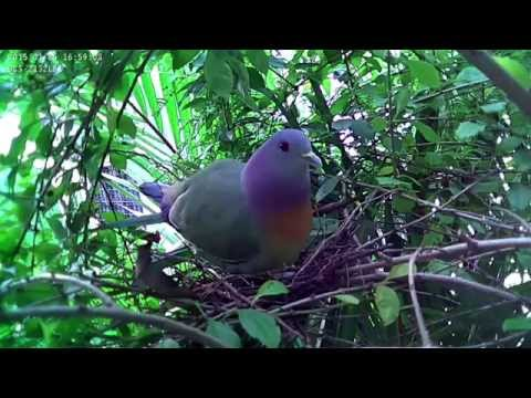 , title : 'Pink-necked Green Pigeon Nesting
