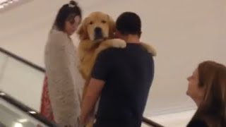 Golden Retriever Gets Carried up Escalator | Kholo.pk