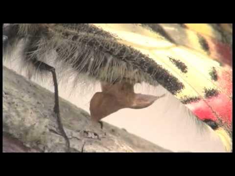 ヒメギフチョウの産卵