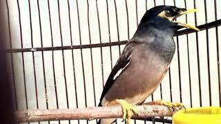 Terbukti Ampuh!!!! Masteran Burung Jalak Nias Istimewa Bikin Gacor Ngeplong!!!