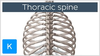 Thoracic Spine - Definition & Components - Human Anatomy | Kenhub