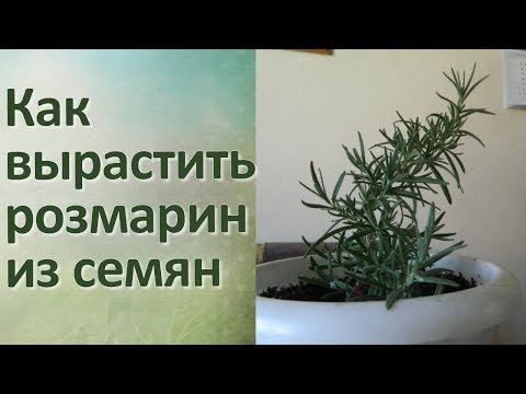 Розмарин Выращивание из семян