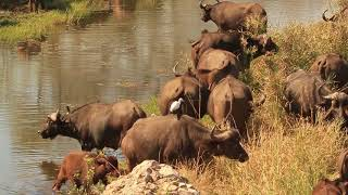 Buffalo - Africa's Wild Wonders - The Secrets of Nature