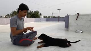 rottweiler puppy training
