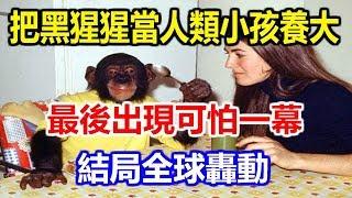 科學家把黑猩猩當人類小孩養大,最後出現可怕一幕!結局全球轟動