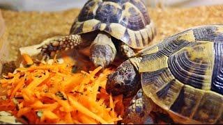 Средиземноморские черепахи уничтожают морковку.