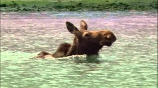 Смотреть онлайн Медведь почти догнал длинноногого лося