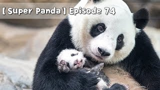 【Super Panda】Episode 74 | iPanda