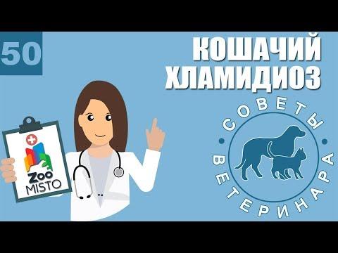 Хламидиоз у кошек | Симптомы и лечение хламидиоза | Причины заражения | Советы Ветеринара