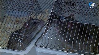 Чтобы распознать рак, туберкулез и диабет у пациента, уникальным крысам понадобится пара минут