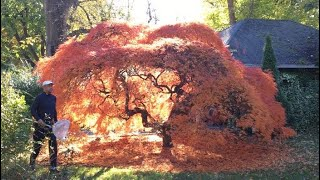 🍁 Japanese Maple ~ How to grow Japanese Maple ~ Maple Fall color 🍁