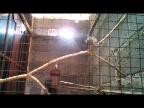 Video Aksi Cucak Jenggot Resing di kandang Umbaran. Kermun Bird