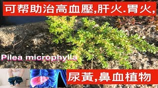 小葉冷水麻(透明草)~功效与作用.Pilea Microphylla Medicinal Uses.