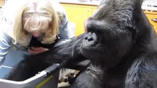 Koko, the gorilla who mastered sign language, passes away at 46