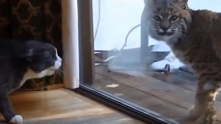Cats gets scared by Wild Animals Compilation.