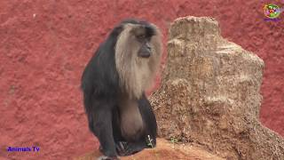 Lion Tailed Macaque Behavior !