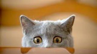 видео приколы кошки funny videos Cats # 3