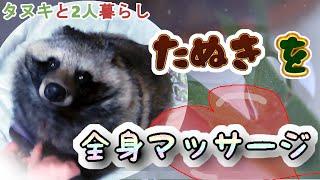 【タヌキと二人暮らし】タヌキを全身ブラッシングする (I give Tanuki a body massage.)