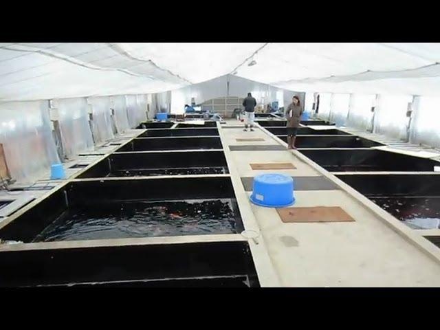 Niigata Japan Koi Fish Farm Tour - Breeder: Dainichi Koi Farm