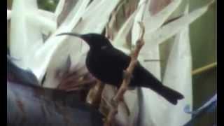 preview picture of video 'nektarnik ametystowy (Chalcomitra amethystina), Amethyst Sunbird'