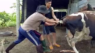 Cận cảnh đỡ đẻ cho bò sữa, theo cách của người dân địa phương VIỆT NAM