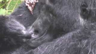 preview picture of video 'Gorilla trekking in uganda Vs Rwanda while on self drive tour (self drive uganda.com)'