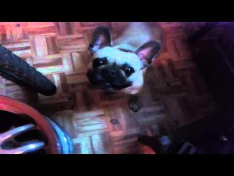 Bulldog Amiga