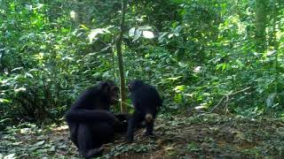 Newswise:Video Embedded chimpanzees-more-likely-to-share-tools-teach-skills-when-task-is-complex