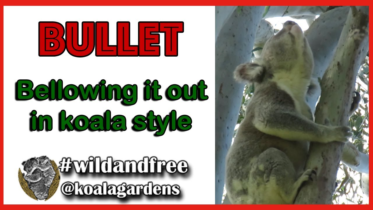 Bullet – showing off a good koala bellow