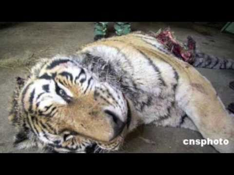 Tiger Poaching Mp3
