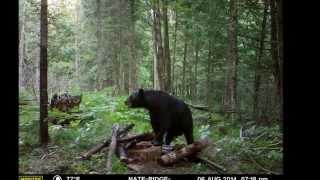 Bear Baiting northern Wisconsin