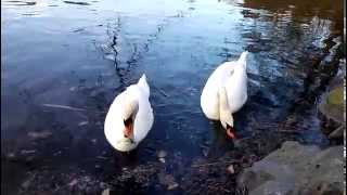 preview picture of video 'Prague : The Kunratice forest : Pond Swan part 1'