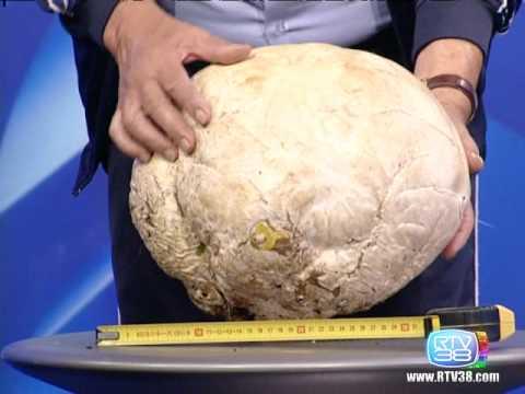 Che guarire un fungo a un bassotto