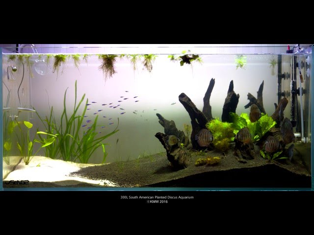 300L Planted Discus Aquarium - Day 15 (Canon 5D Mark III RAW Video)