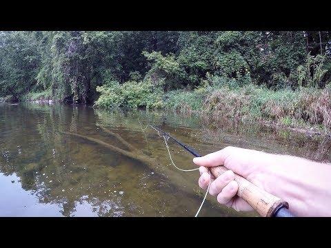 Karpe på flue i åen