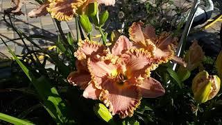 Лилейник Darla Anita от компании Рай цветов - видео 1