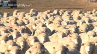 preview picture of video 'Car Hire New Zealand: sheep crossing near Christchurch, NZ'