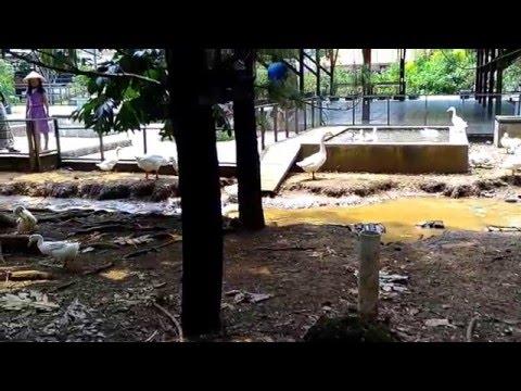 Video Cara Beternak dan budidaya angsa dan bebek