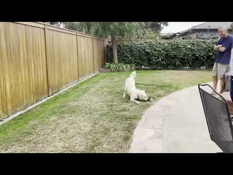 Melissa, an adopted Golden Retriever & Great Pyrenees Mix in Torrance, CA