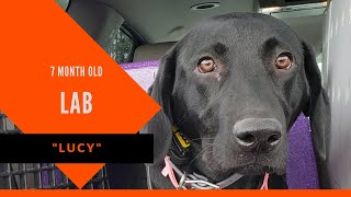 Lucy | 7 Month Old Labrador Retriever | Athens Board & Train | Dog Obedience Training Athens