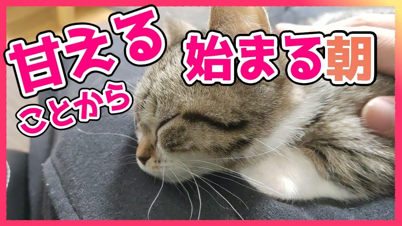 朝から甘えん坊モード全開な子猫【短足マンチカン】