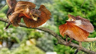 AMAZING LIZARD VS LIZARD REAL FIGHT TO PROTECT TERRITORY | Discovery Animals Planet