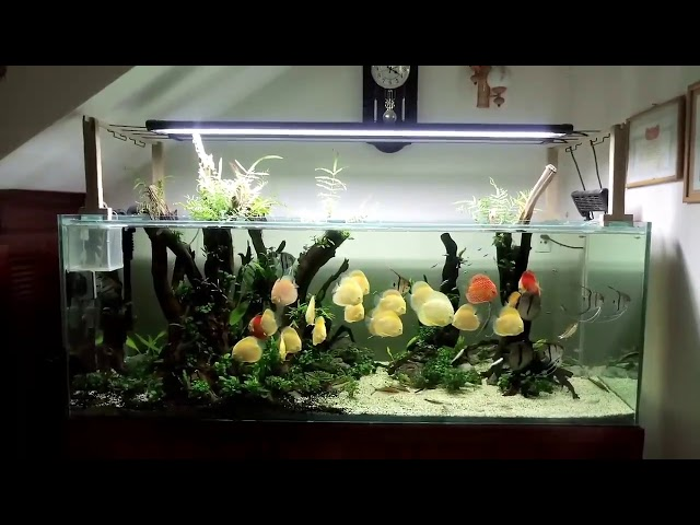 Great Discus Collection and Set Up (1000 L Tank)  Thanks Minh Cuong Van