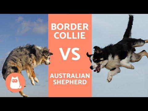 Border collie fogyás. Amit a kutyákról tudni illik!!