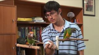 Truman Cape Parrot - Early Flock Dynamics and Fighting