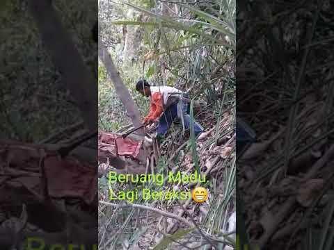 Cara mengambil madu teuweul/lanceng hutan