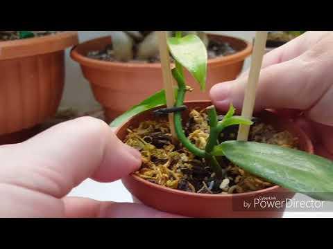 Орхидея Ваниль(Vanilla planifolia)в комнатных условиях