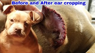 American Bully Ear Cropping What Crop Do You Like Best?