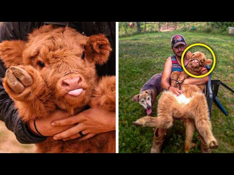 , title : 'Highland Cattle Calves Are The Most Adorable And Cuddly Cows You Will Ever See
